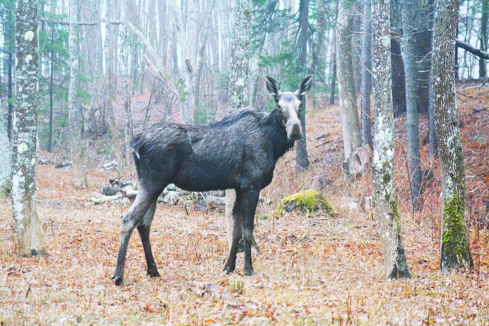 moose near camden maine