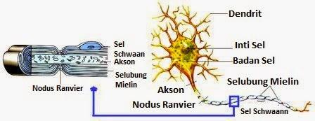 Struktur Bagian-Bagian Sel Saraf (Neuron) dan Fungsinya