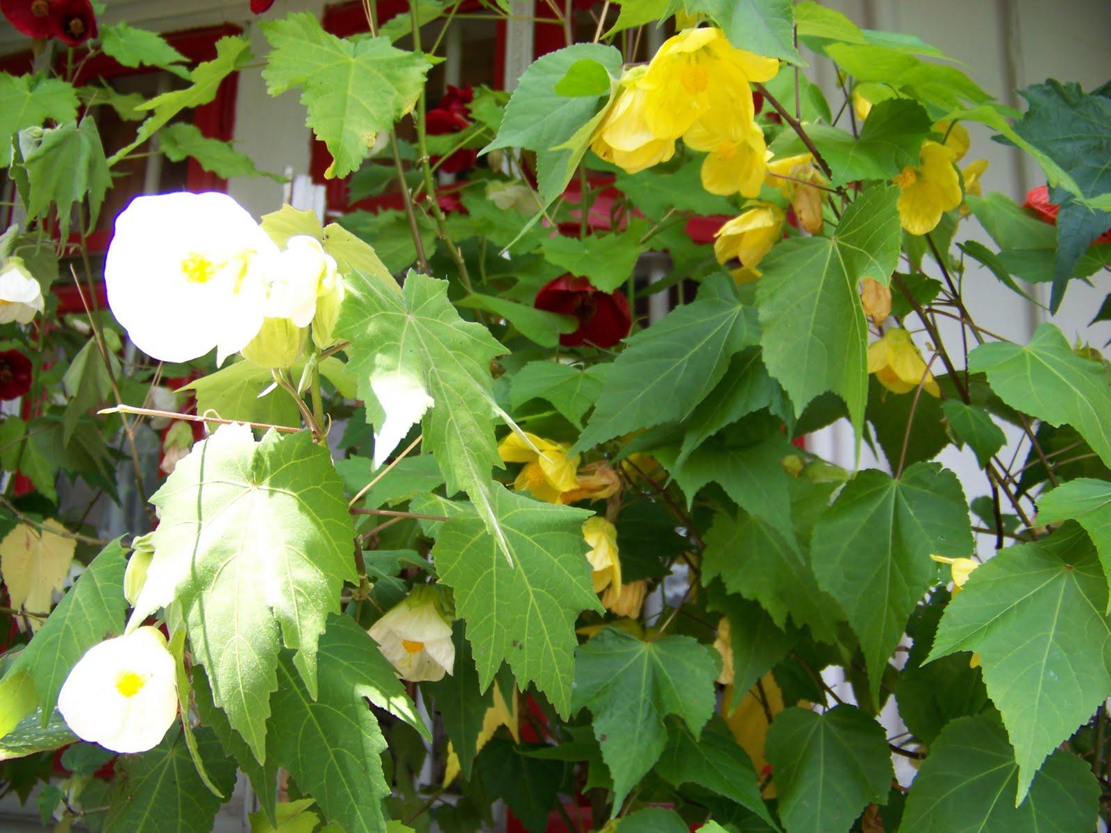 flori de camera best abutilon artar de camera alb si galben with flori de camera trendy. Black Bedroom Furniture Sets. Home Design Ideas