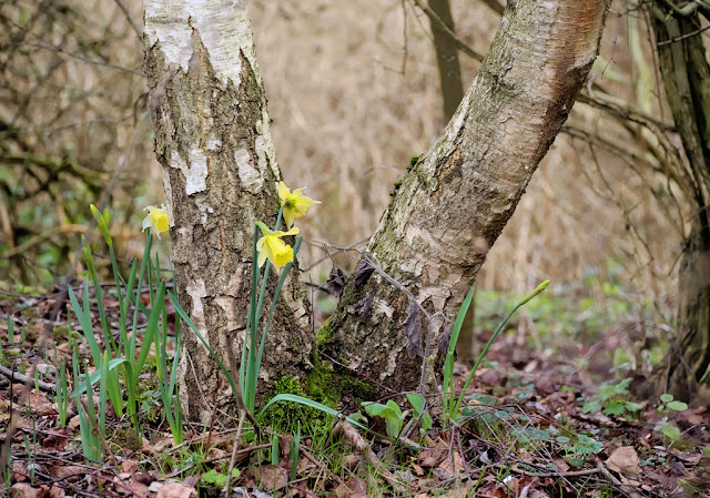 Small clump of daffodils at base of silver birch
