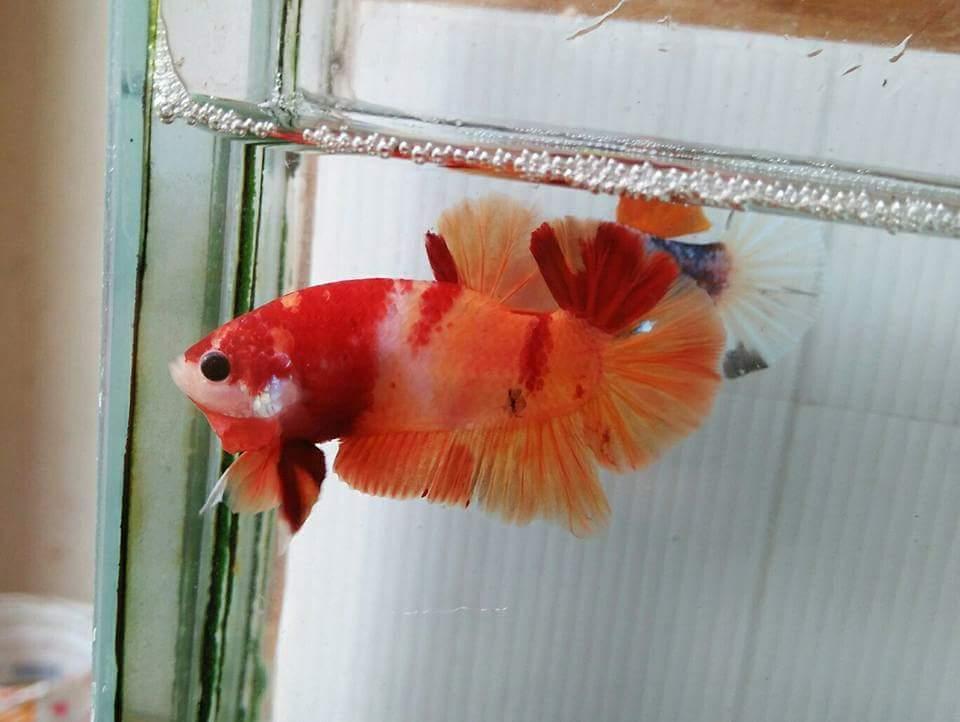 Jual Cupang Halfmoon Koi Nemo Fancy Pamulang BSD Ciater ...