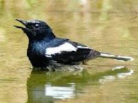Cara Terapi Mandi Malam Untuk Burung Kicau