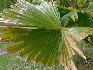 Livistona jenkinsiana - Palmier éventail de l'Himalaya