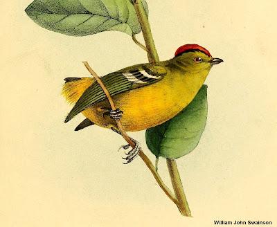 Tietê-de-coroa, Kinglet Calyptura, Kinglet, Calyptura, aves, aves do Brasil, Birds, natureza e conservação, nature, birding, birdwatching, extinção, aves ameaçadas