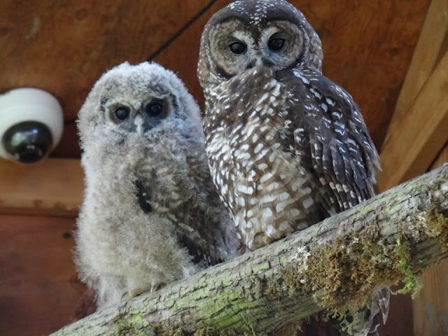 Spotted owls bred to save them from extinction in British Columbia