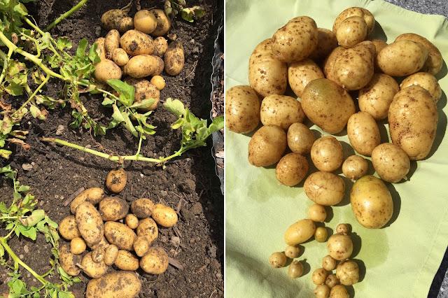 Kartoffeln frisch geerntet und gewaschen