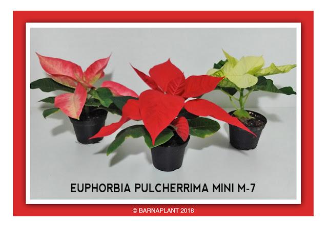 Poinsettia-Euphorbia-Pulcherrima-Mini M7-2018