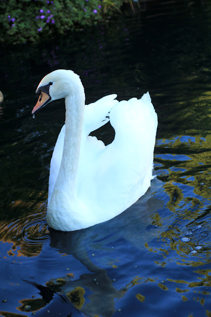 Swan at The Lake Shrine - Center for Self Realization in Los Angeles, CA