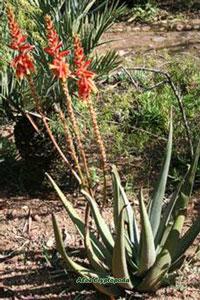 7 Jenis Tanaman Aloe Di Dunia Yang Berkhasiat