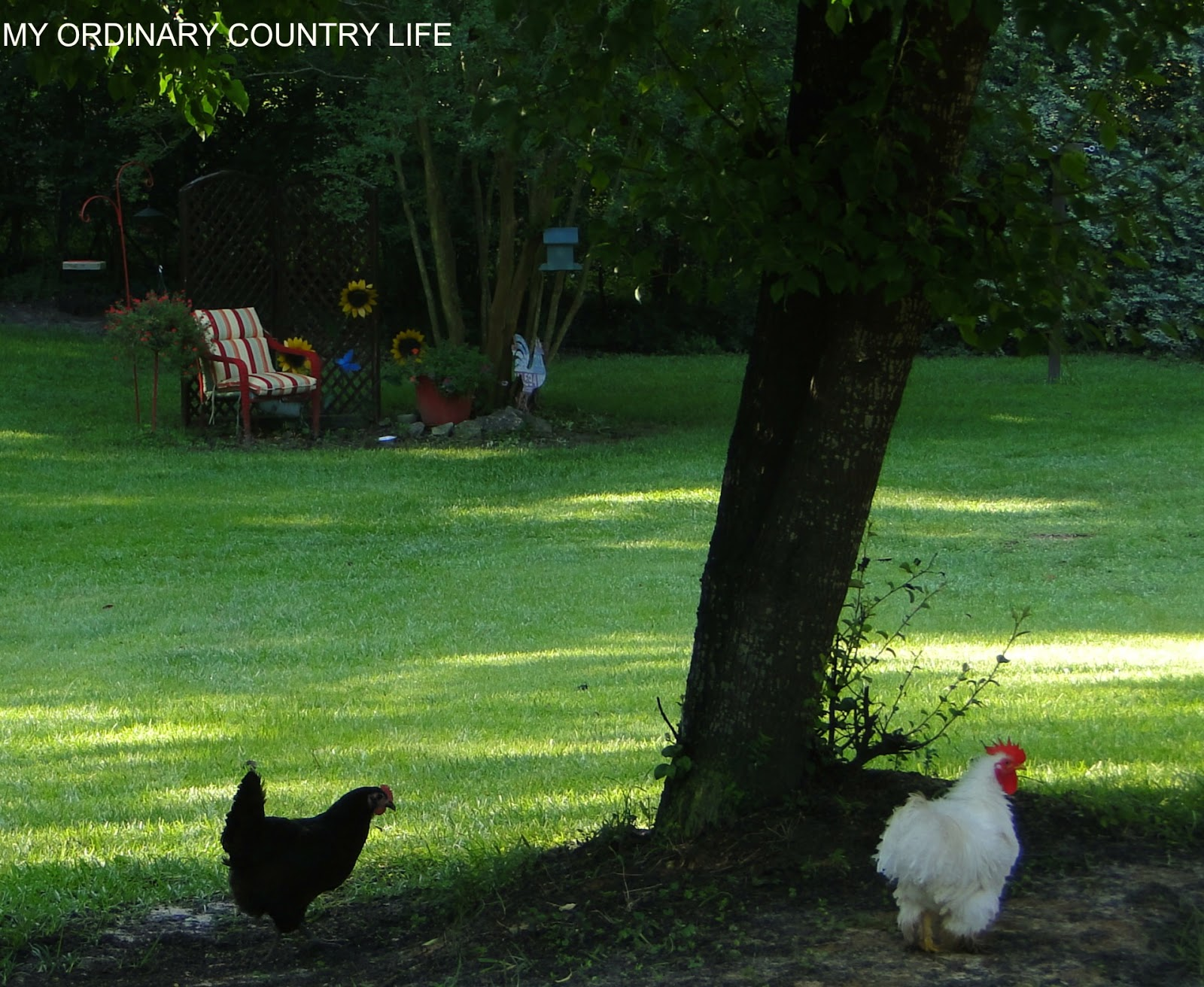 My Ordinary Country Life A Walkabout With The Chickens