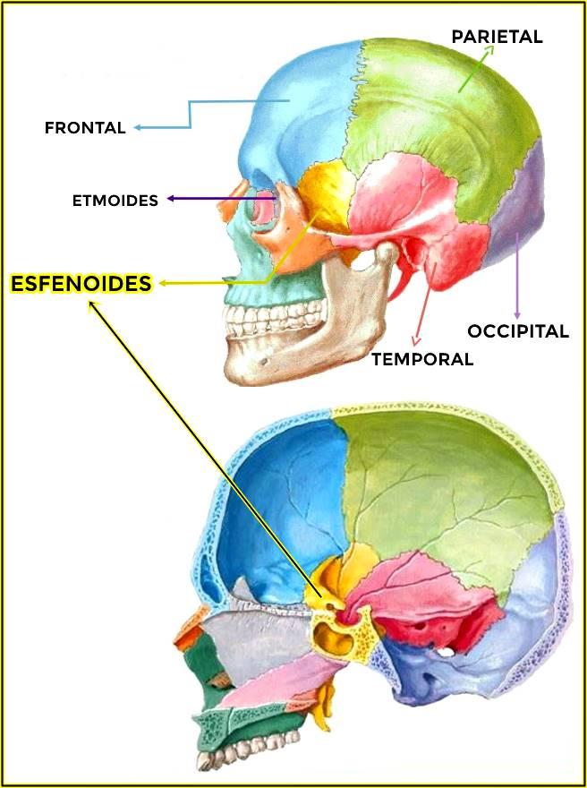 Hueso esfenoides: vista lateral izquierda con corte sagital