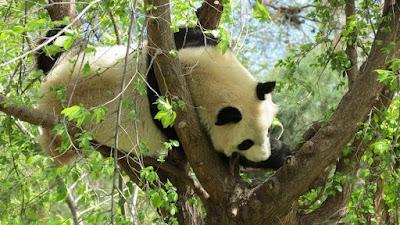 Chulina descansando en el árbol