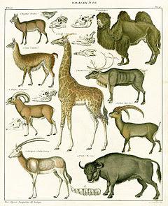 Os artiodáctilos (latim científico: Artiodactyla)