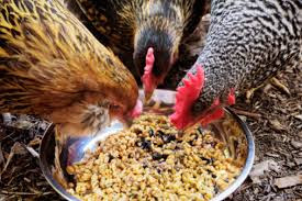 The Amazing Of Benefits Corn For Chicken Feed - Healthy T1ps