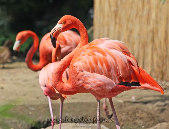 Flamingos im Zoo Köln