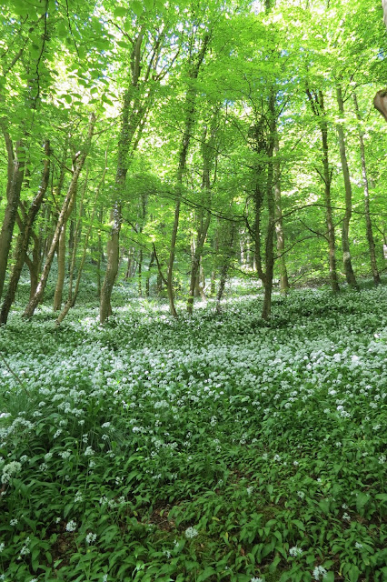 Woodland floor carpeted with wild garlic plants and a green canopy of trees above.