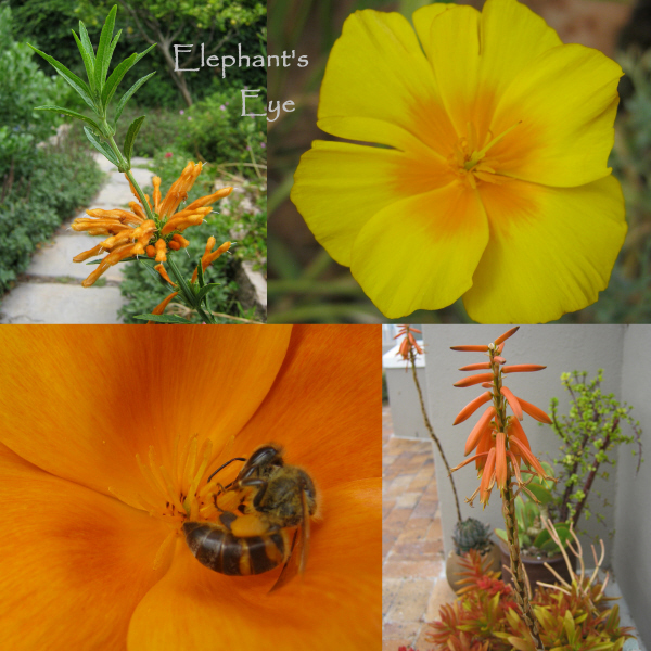 Leonotis, Californian poppies Haworthia