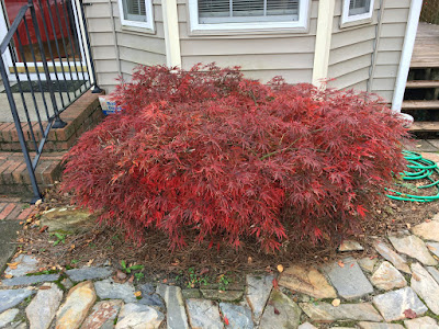 Japanese Maple 'Red Dragon' - Before Pruning