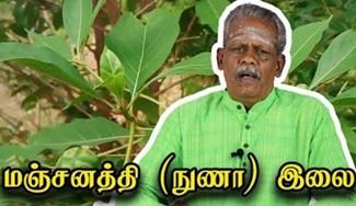 Morinda Tinctoria uses in Tamil