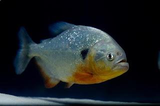Harga Black Spot Piranha ( Pygocentrus Cariba )