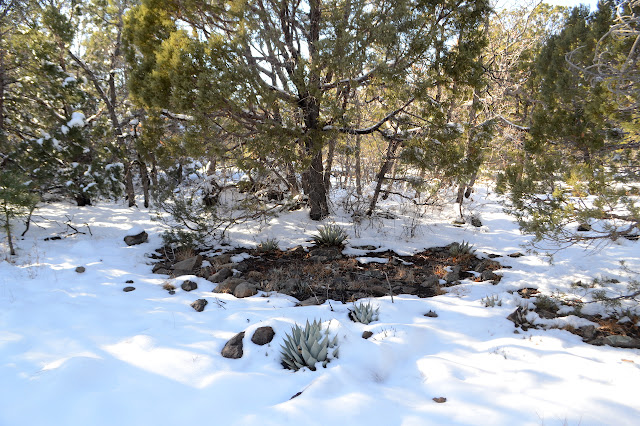 agave in the snow