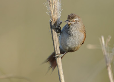 Sulphur bearded Spinetail