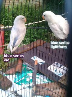 Jenis lovebird lightform