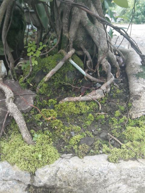 tumbuhan lumut bonsai