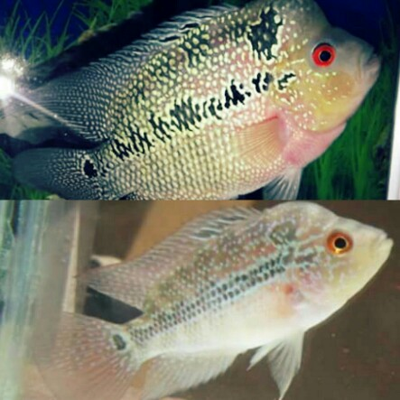 Cara Membedakan Ikan Louhan Jantan Dan Betina Disertai Gambar Hobinatang