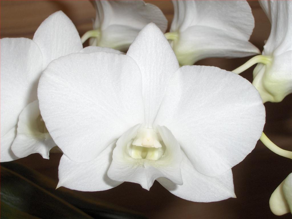 Fiori Orchidea Bianchi.Orchidee In Fiore Dendrobium Phalaenopsis Con Fiori Bianchi
