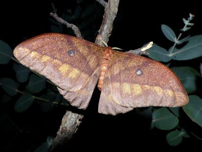 Pseudantheraea discrepans female