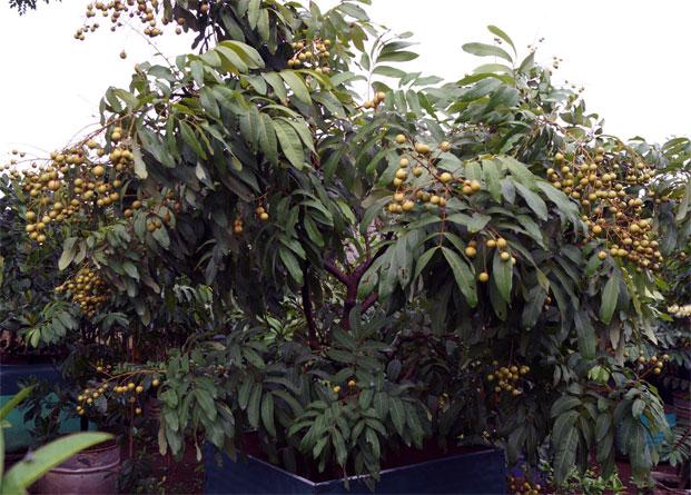 cara merawat pohon kelengkeng agar berbuah lebat