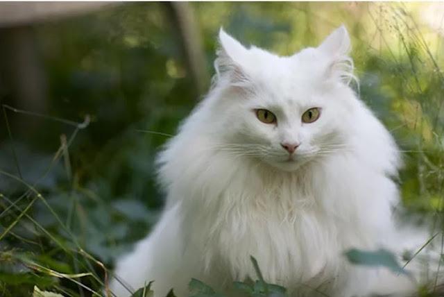 foto Kucing Anggora