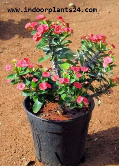 Euphorbia Milii var Splendens Euphorbiaceae
