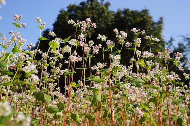 Ninh Binh brightened with buckwheat flowers blooming 4