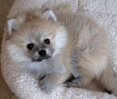 persiankittensforadoption: Pomeranian Puppies for Sale