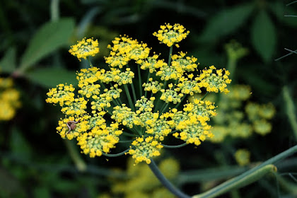 Beberapa manfaat tanaman adas untuk kesehatan tubuh