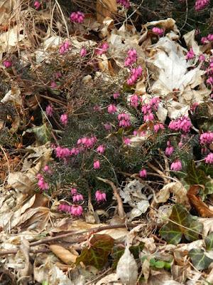 Erica carnea Myretoun Ruby Heather at Toronto Botanical Garden by garden muses-not another Toronto gardening blog