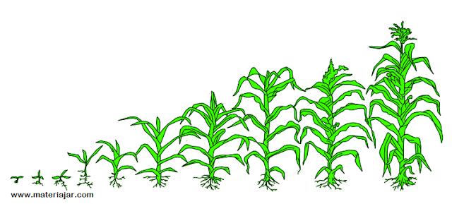 materi ajar ipa tentang perkembangbiakan pada jagung atau tumbuhan