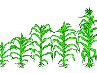 Bagaimana Jagung Berkembang Biak ?