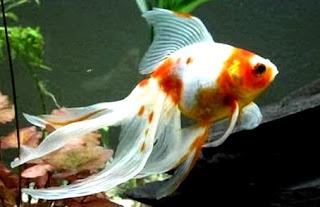 Gambar ikan mas koki termahal dipasaran