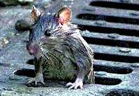 Foto de una rata mojada