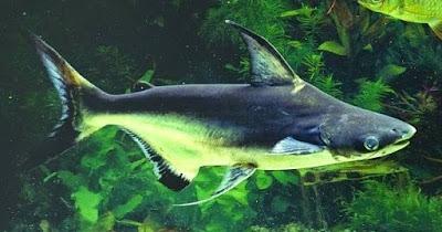 2 Resep Umpan Mancing Ikan Patin Liar Yang Sudah Terbukti Jitu
