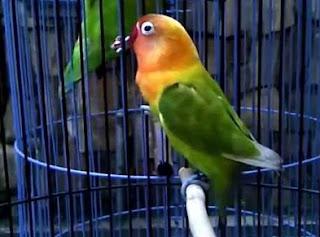 cara-meracik-Pakan-Lovebird-Juara,-meracik-Pakan-Lovebird-Juara,-Racikan-makanan-Lovebird-Juara,-racikan-pakan-lovebird-agar-ngekek-panjang,-ramuan-pakan-Lovebird-Juara,-