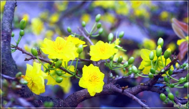 Mai Vàng Rạng Rỡ Ngày Xuân