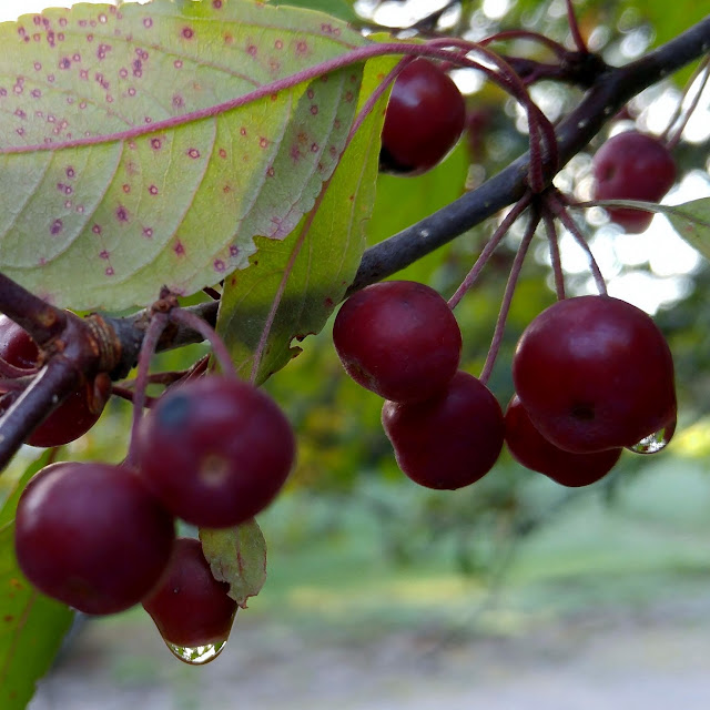 Berries dripping with morning dew #nature