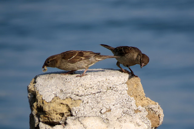 Female sparrows, Porto Mediceo, Livorno