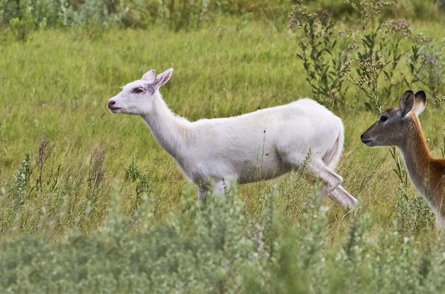 5. Albino Red Lechwe by Ken Watkins