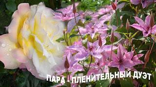 клематисы розы саду