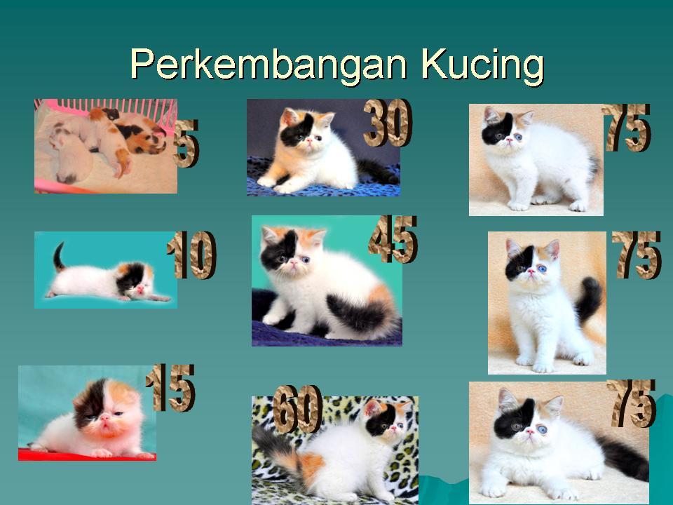 Perawatan Kucing Perkembangan Bayi Kucing dalam bentuk gambar